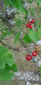 photo de clafoutis aux cerises